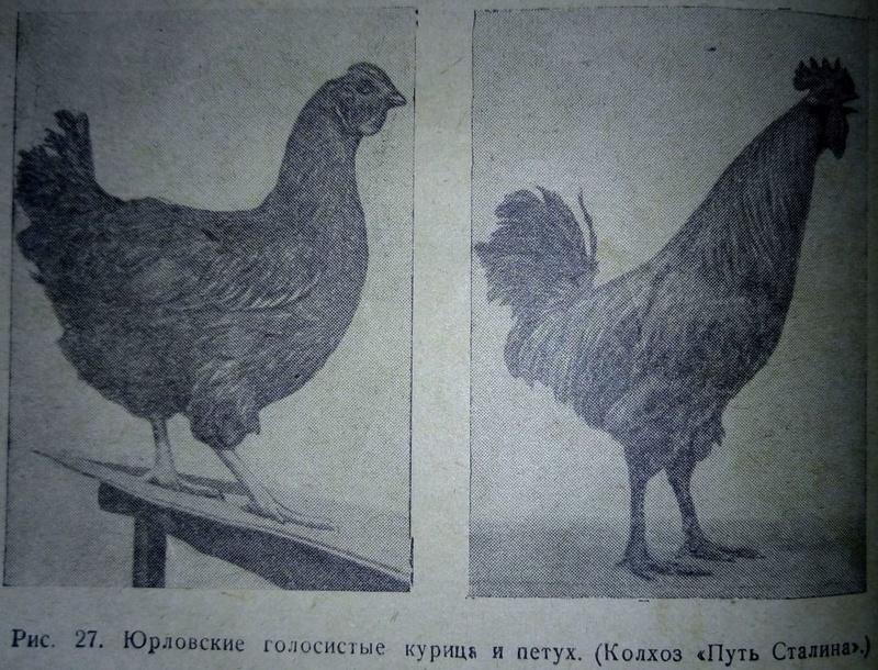 Юрловские куры описание с фото породы голосистых