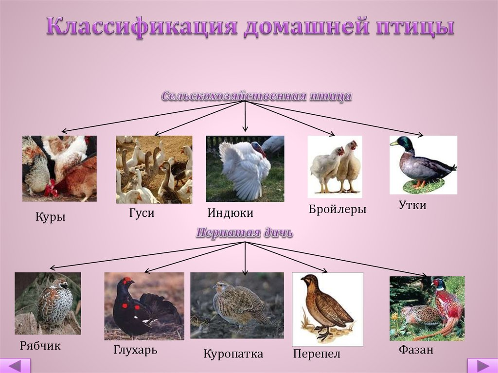 Биологические особенности домашних уток