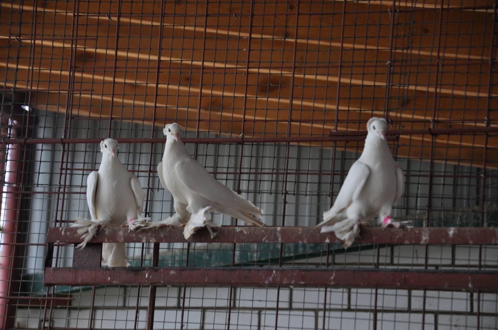 Голуби породы касаны: летные характеристики и особенности
