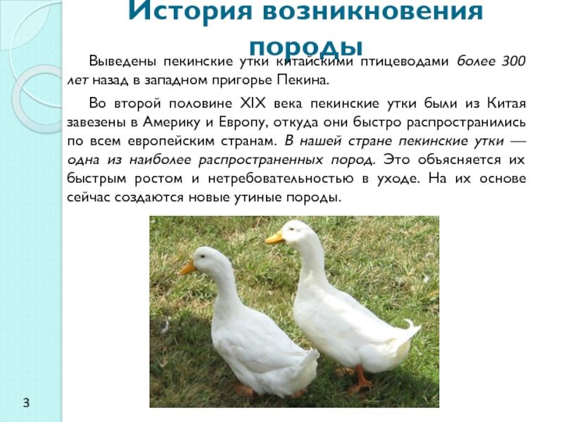 Утка Благоварская – описание кросса, особенности выращивания, отзывы