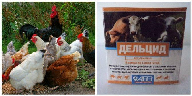 Дельцид для кур: как применять для обработки птицы. Инструкция, дозировка, как правильно разводить препарат