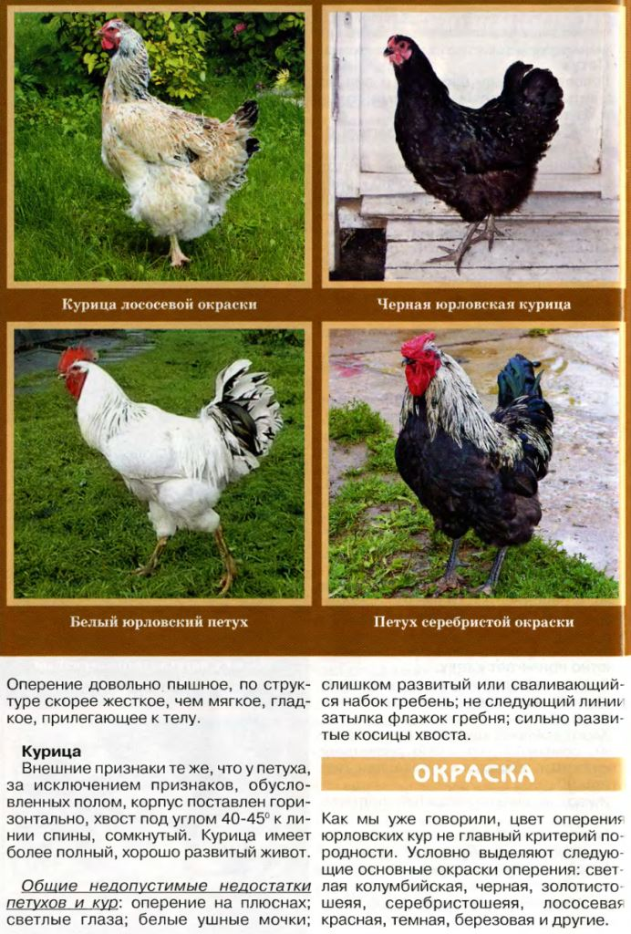 Скороспелые породы кур – описание пород с фото и видео