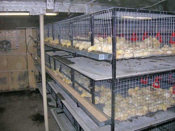 Клеточное содержание бройлеров в домашних условиях