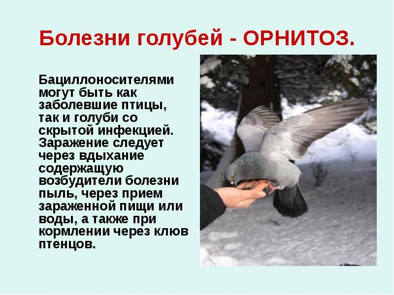 Каких птиц боятся домашние голуби и криком какой хищной птицы можно отпугнуть диких