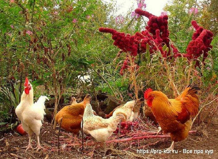 Куры в огороде весной, летом, осенью и зимой