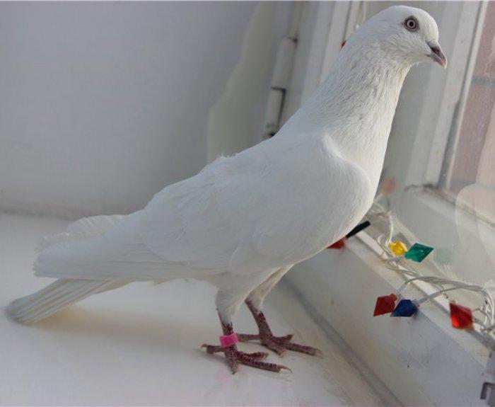 Бойные голуби: летные характеристики, особенности внешнего вида и содержания