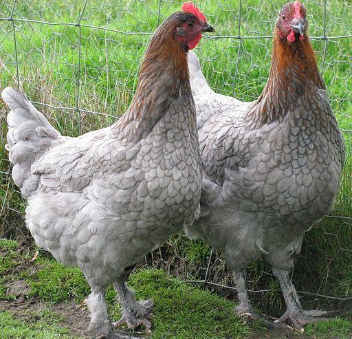 Породы голубых кур несушек с описанием, фото и видео