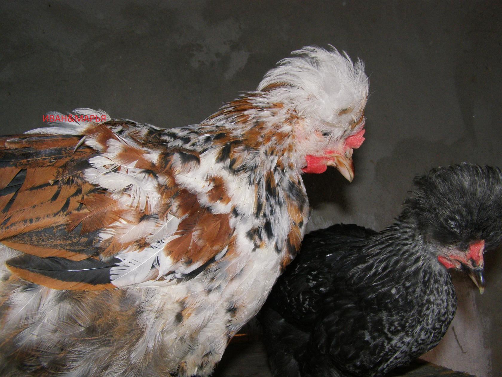Русская хохлатая порода кур – описание, фото и видео