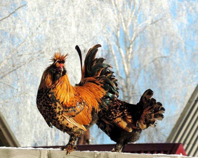 Павловская - декоративная порода кур. Описание, основные характеристики, разведение, выращивание и кормление