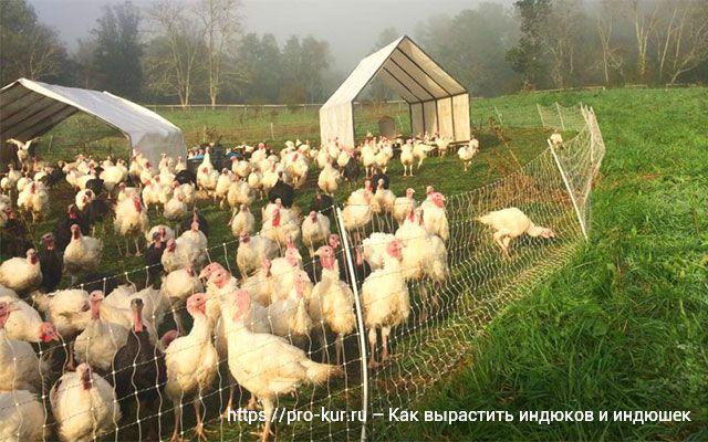 Индюки в домашнем хозяйстве: выращивание без потерь