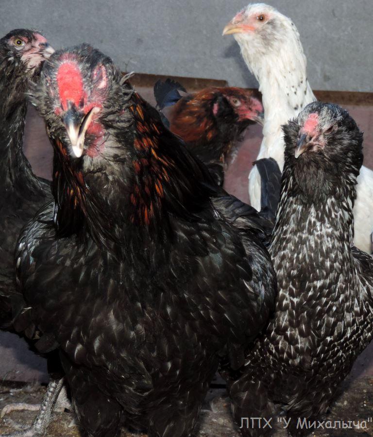 Аугсбургер порода кур – описание с фото и видео