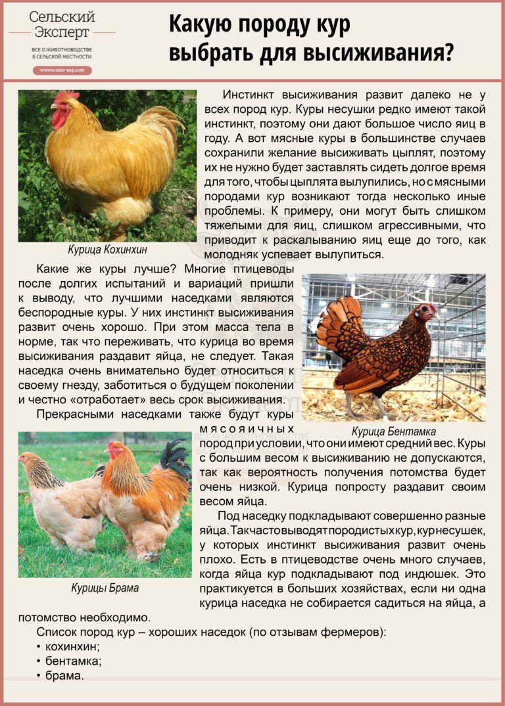 Первомайская мясо-яичная порода кур: особенности разведения и кормления, основные характеристики