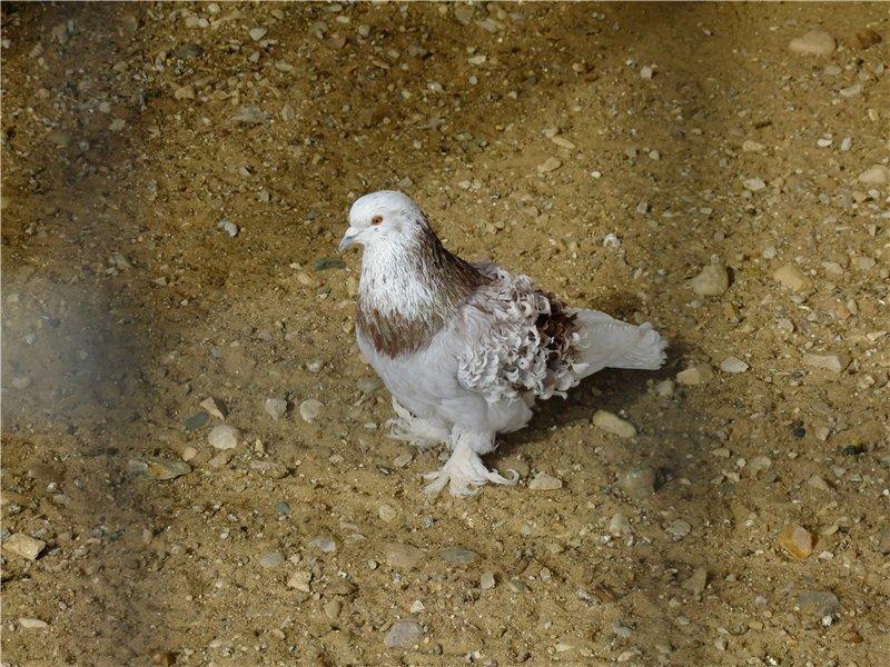 Кудрявый голубь: описание породы, декоративные характеристики, содержание