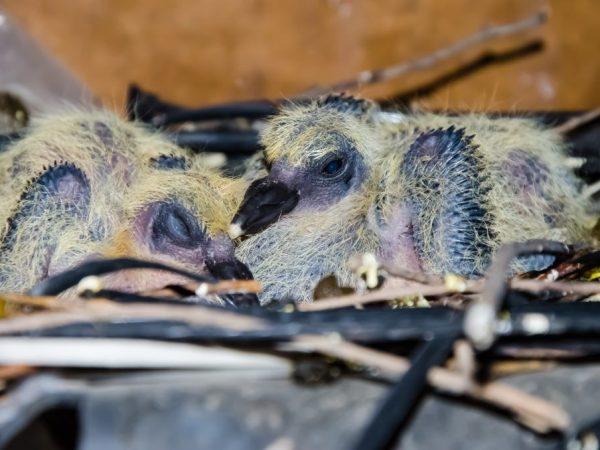 Как выходить и чем кормить птенца голубя