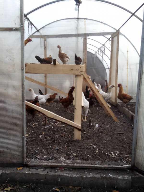 Содержание кур на даче летом и зимой – советы и правила