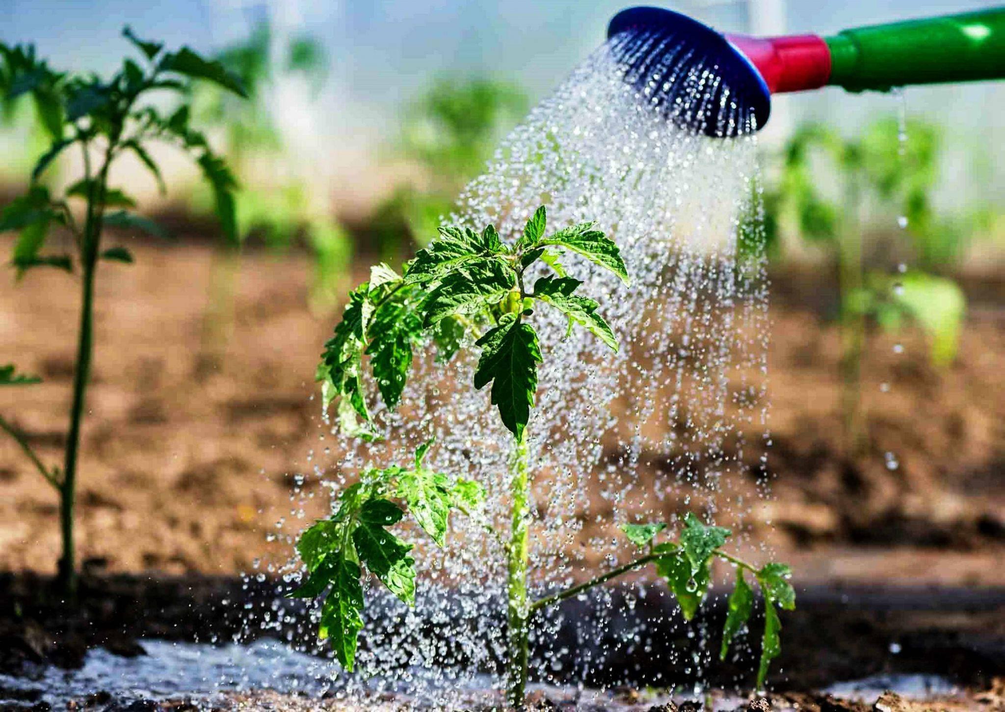 Полив в жару и ошибки, которые могут испортить урожай