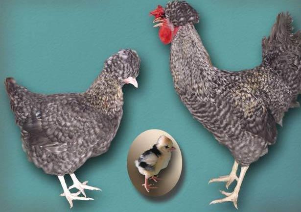 Русская хохлатая - декоративная порода кур. Описание, характеристики, особенности содержания и кормления