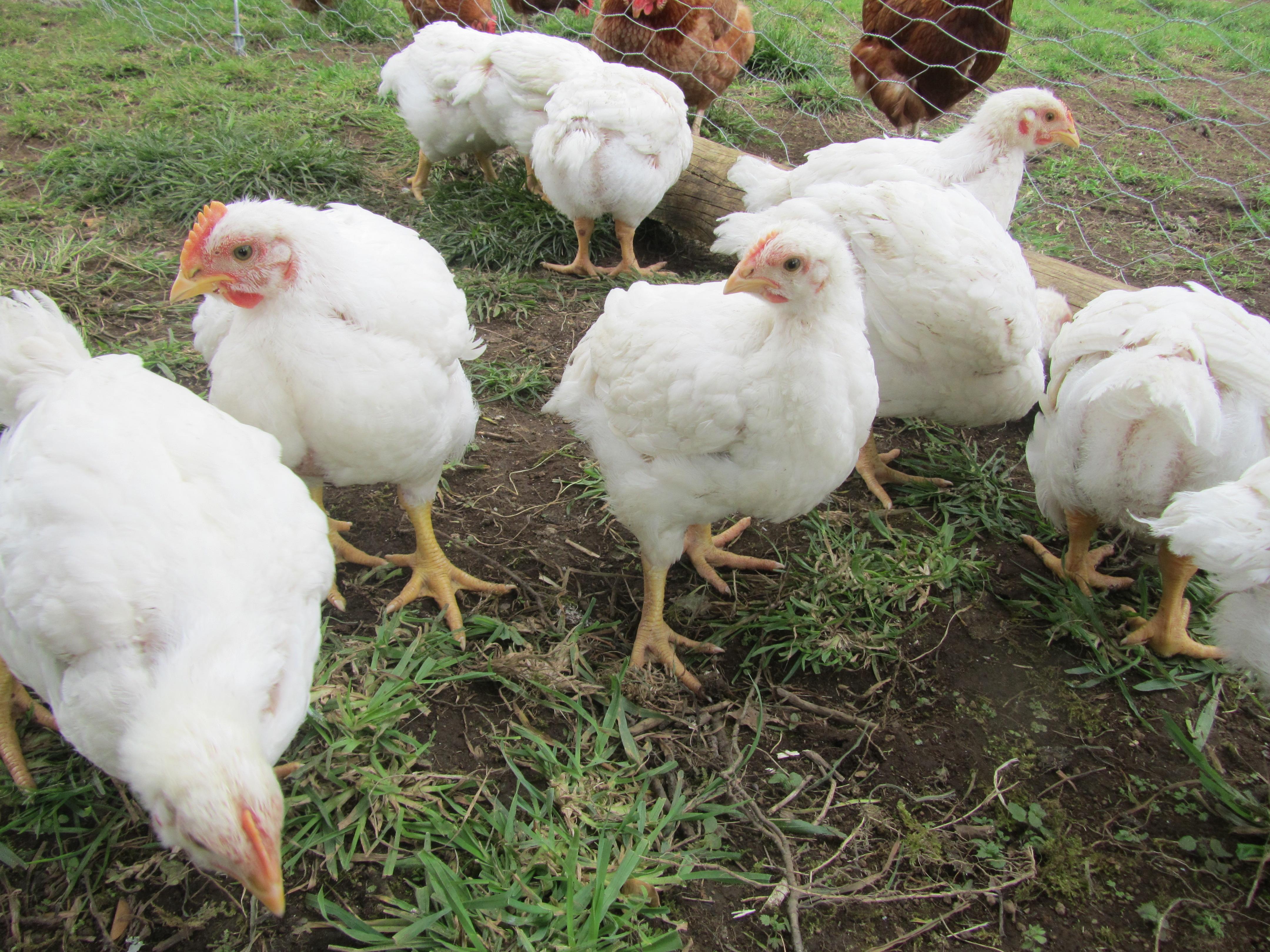 Комбикорма для цыплят-бройлеров – что лучше выбрать