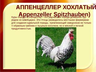 Хохлатые куры породы Аппенцеллер Шпицхаубен
