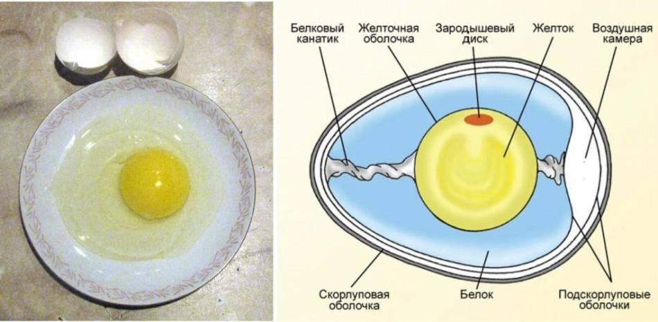 Почему у куриных яиц жидкий белок, который растекается как вода
