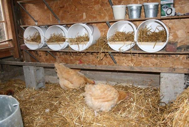 Личный опыт содержания и выращивания кур