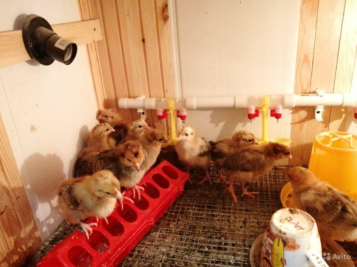 Выгодно ли разводить цыплят на продажу или для себя, покупая их каждый сезон?