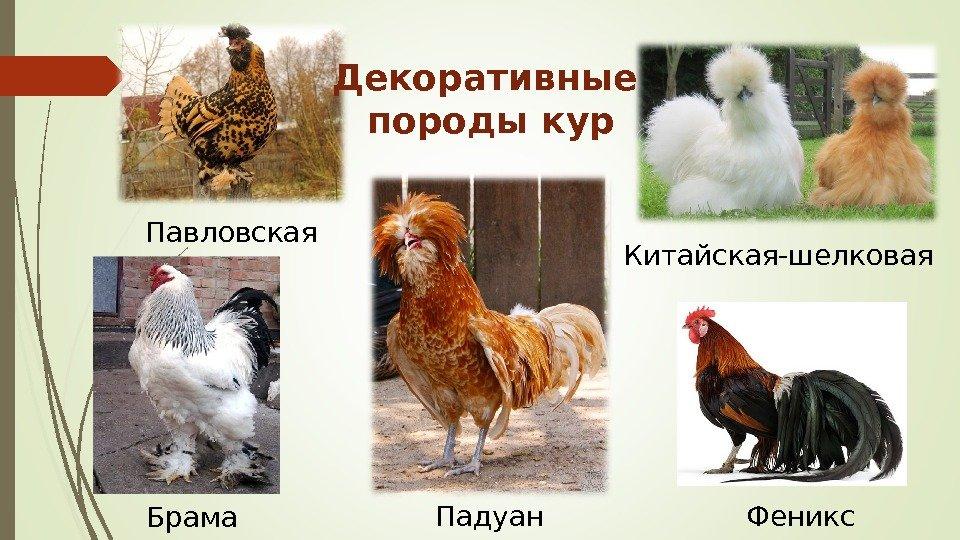 Какую породу кур выбрать? Определяем направление.