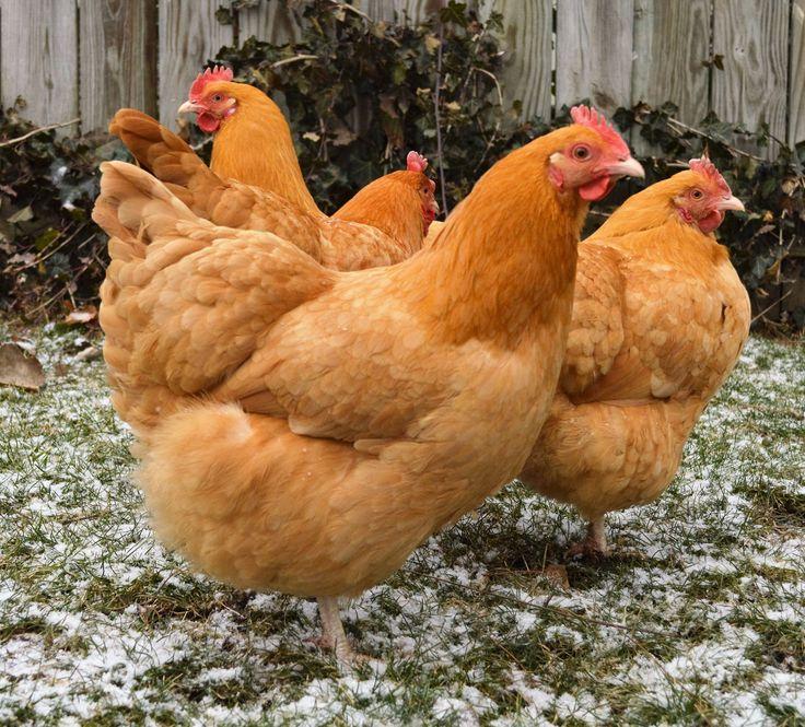 Красные куры породы ТОП-8 – лучшие несушки с фото