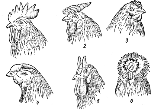 Гребень петуха: основные разновидности по их форме в зависимости от породы