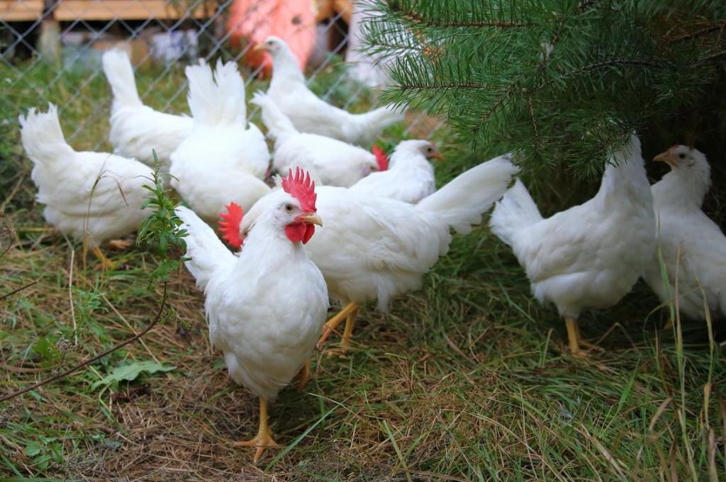 Леггорн — порода кур яичного класса: особенности характера, рекомендации по содержанию, кормлению, разведению