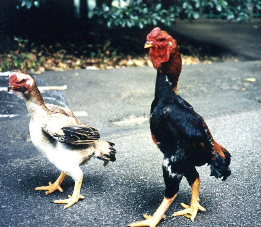 Ямато порода кур – описание с фото и видео