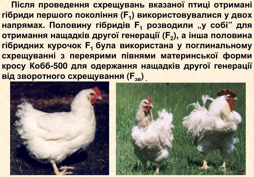 Бакей - мясо-яичная порода кур. Описание, характеристика, выращивание, кормление и инкубация