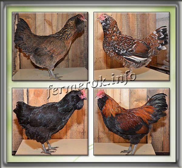 Рейнская - мясо-яичная порода кур. Описание, характеристика, разведение и содержание, кормление, инкубация