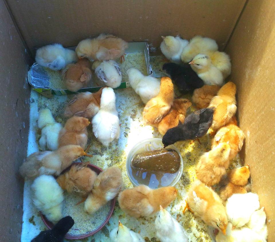Поселить цыплят в ванну не лучшая идея