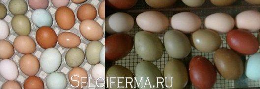 Перепела, несущие голубые яйца – название и краткое описание породы