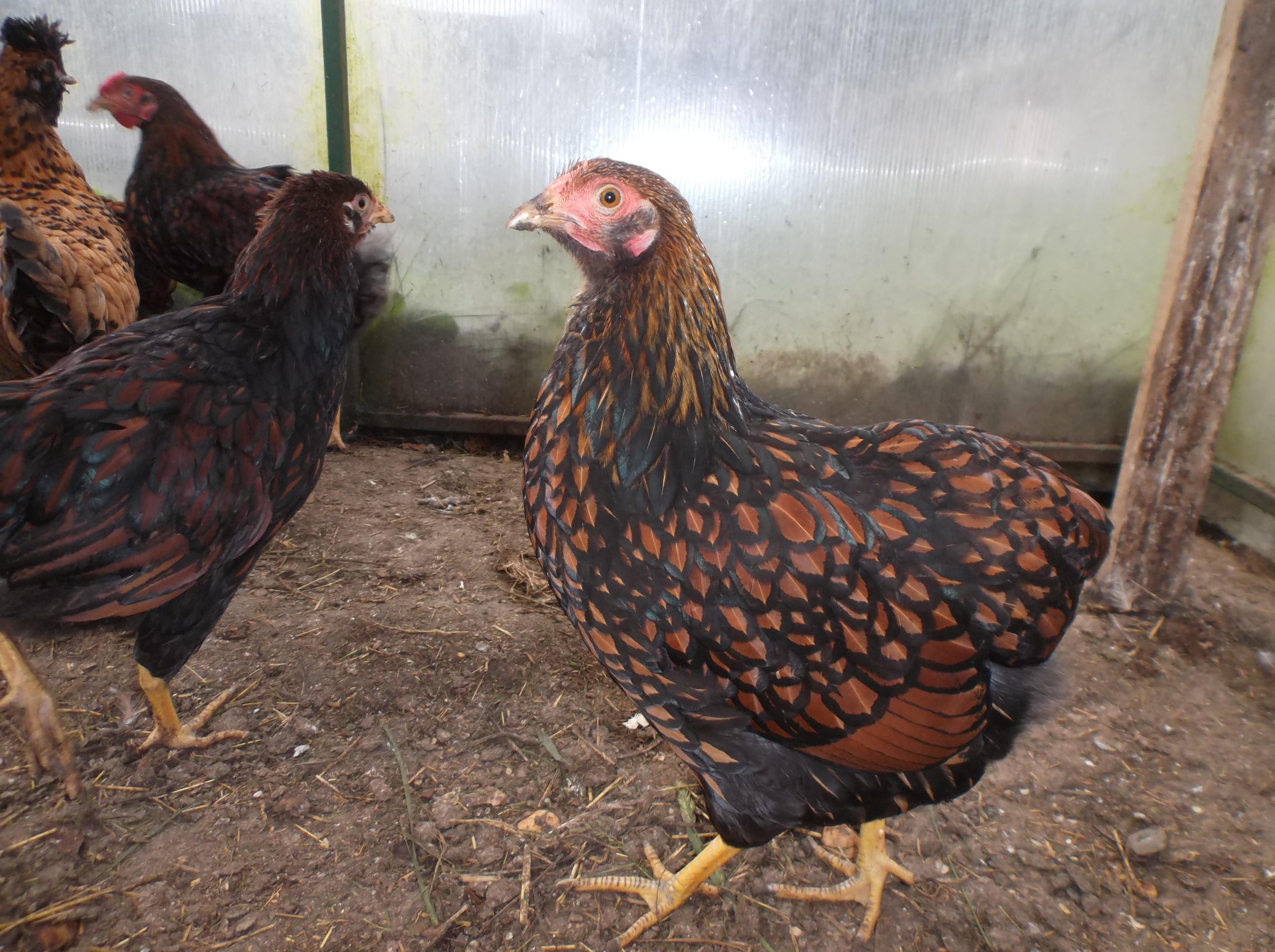 Карликовый виандот - декоративная порода кур. Описание, характеристики, содержание, кормление и инкубация