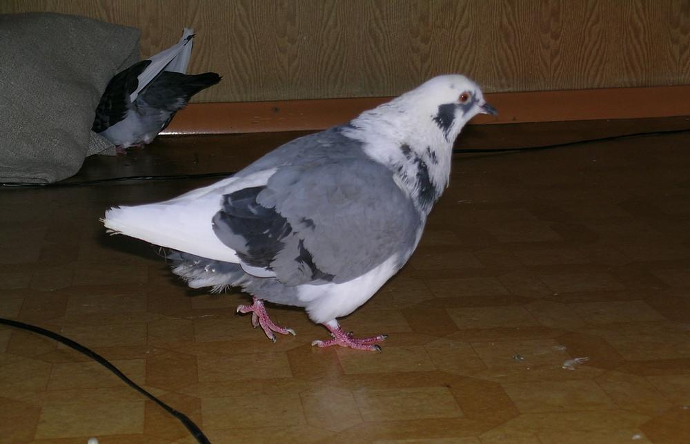 Сколько живут голуби в домашних условиях?