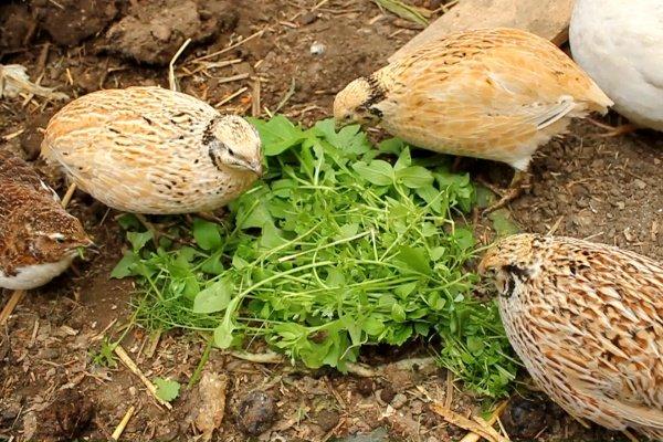 Маньчжурские перепела – описание породы, продуктивные характеристики