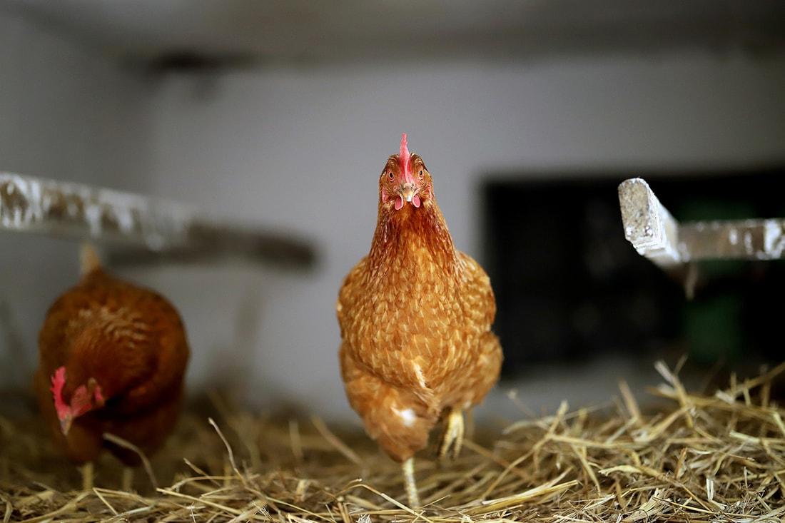 Как выращивать кур в домашних условиях