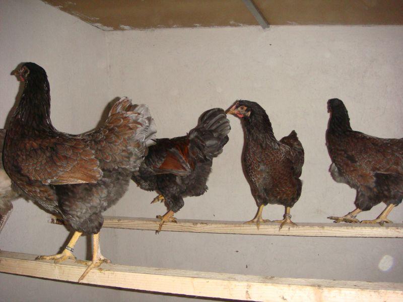 Барневельдер - мясо-яичная порода кур. Описание, характеристики, нюансы выращивания, разведения и кормления