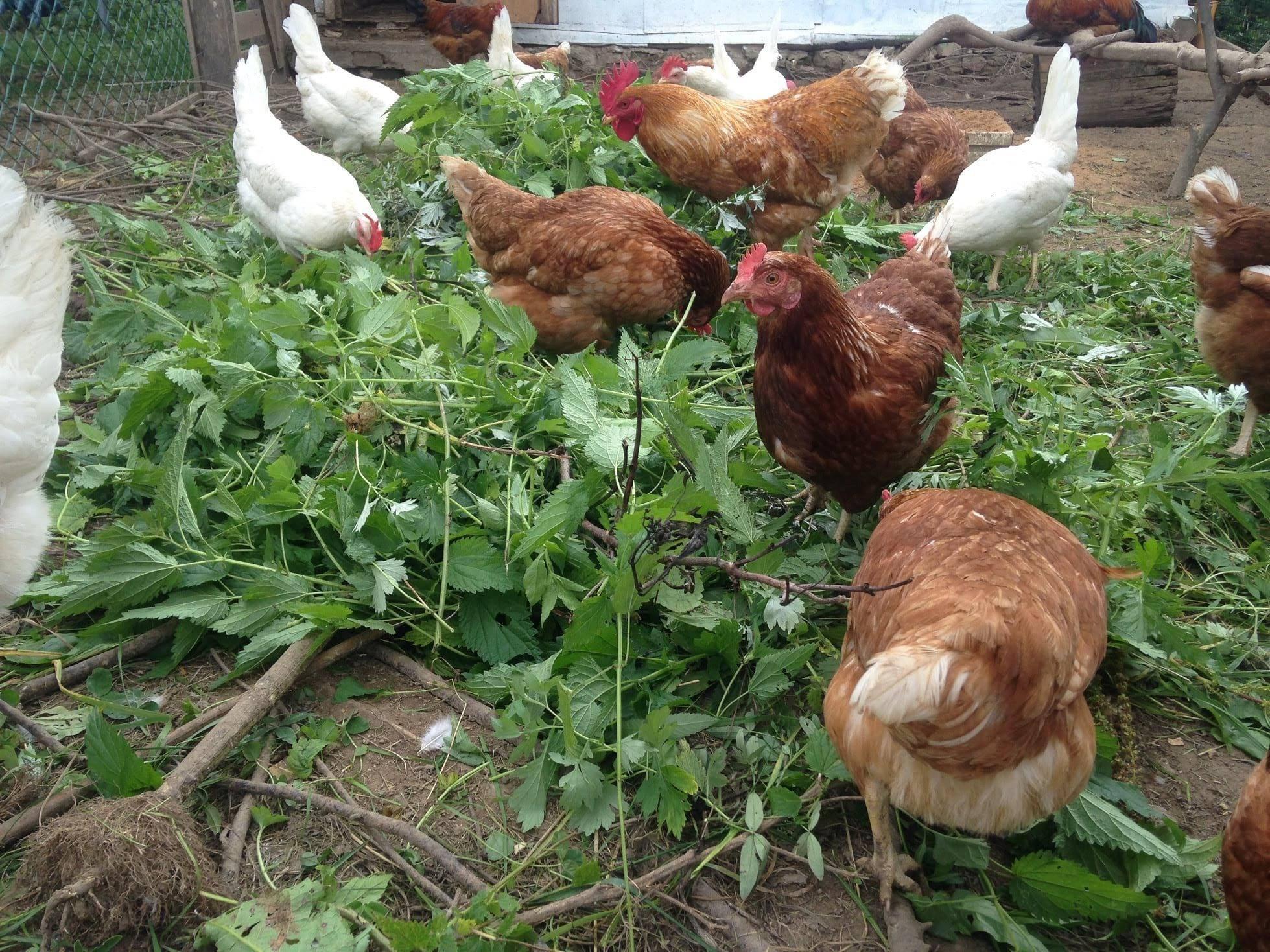 Чем лечить цыплят, если бройлер поносит