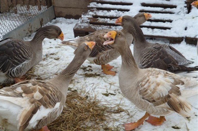 Тульские бойцовые гуси – описание породы, особенности выращивания, продуктивность