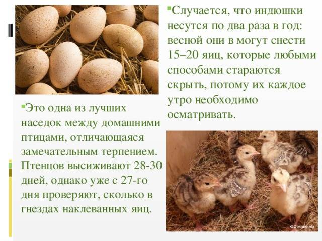 Когда индюшки начинают нести яйца