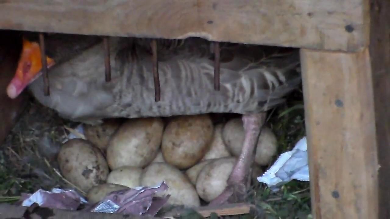 Когда гуси садятся на яйца
