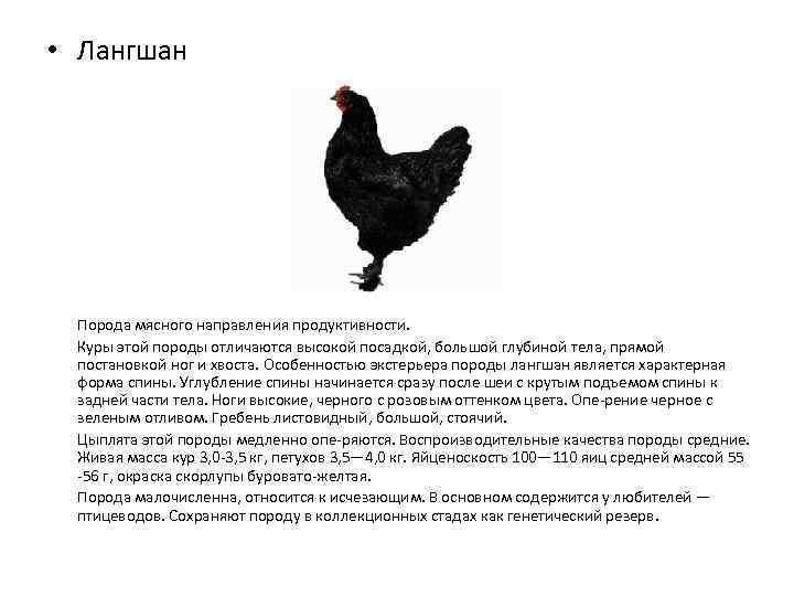 Самые большие курицы в мире: очень крупные породы, их содержание, кормление, болезни