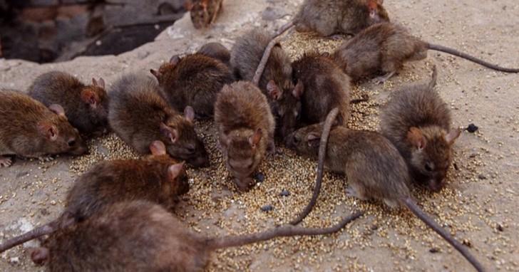 Крысы в курятнике мифы и правда