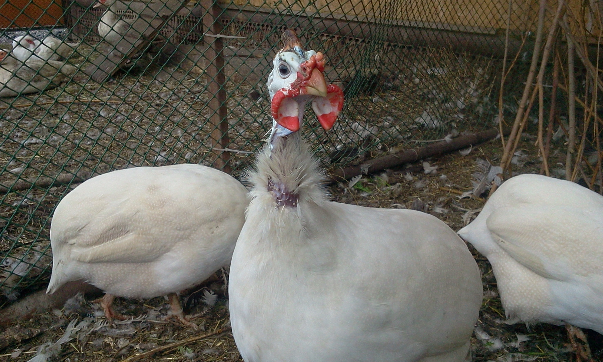 Волжская белая цесарка – содержание, нюансы кормления взрослых птиц и птенцов