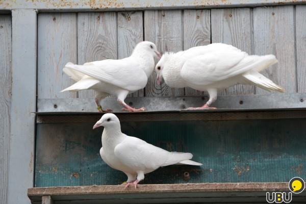 Чехи, или чешские почтовые голуби – особенности породы и спортивные качества
