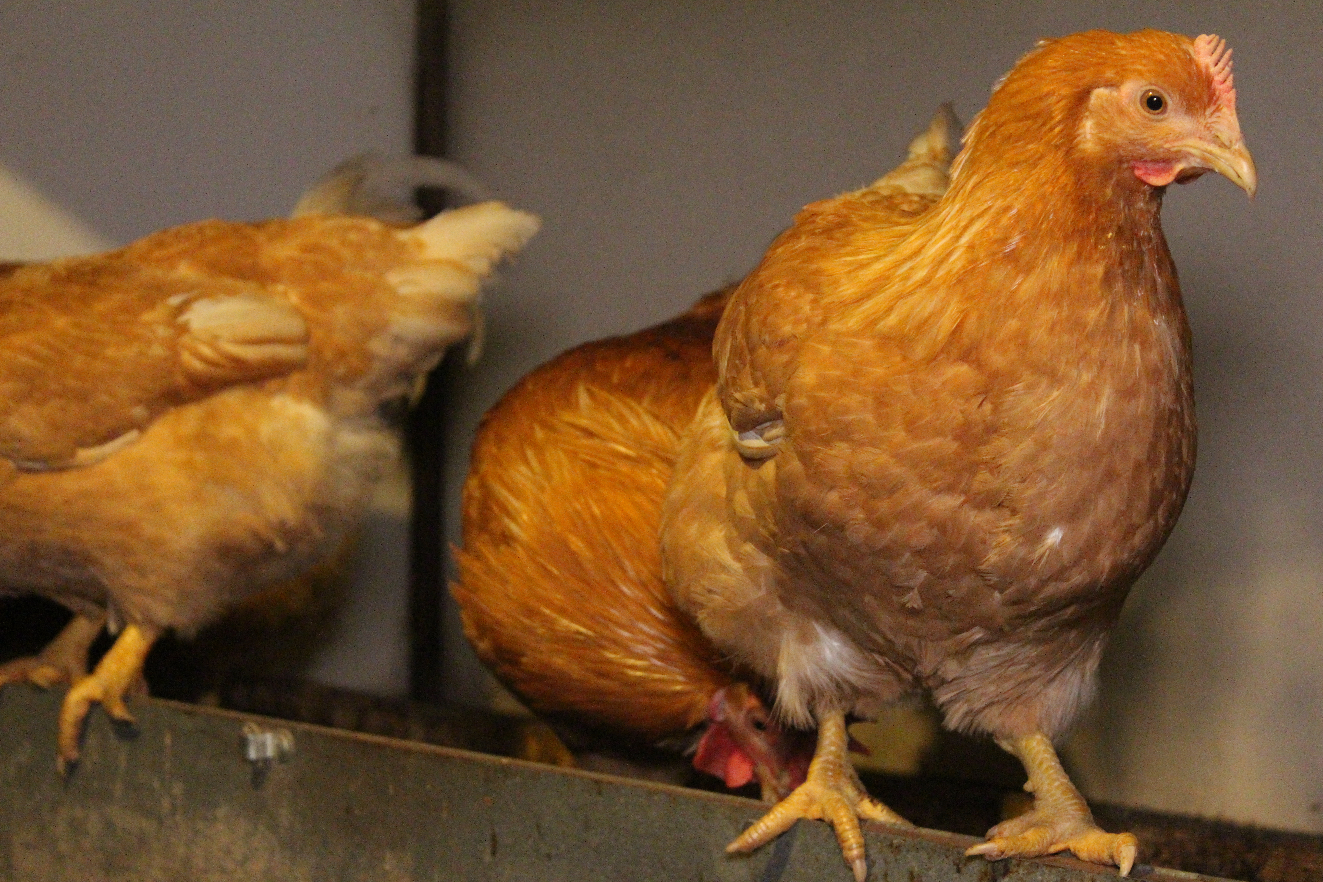Пита Пинта Астуриана - мясо-яичная порода кур. Описание, содержание, выращивание, кормление и инкубация