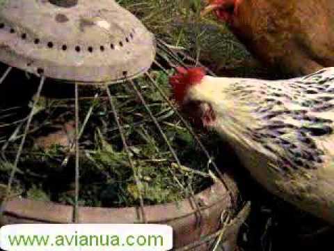Кормление кур крапивой